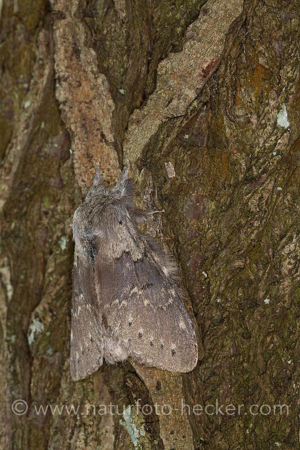 Buchen-Zahnspinner, Buchenspinner, Buchen-Spinner, Stauropus fagi, lobster moth, Zahnspinner, Notodontidae, prominents
