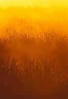Cattails in estuary, Spencer Island, Everett, Snohomish River Estuary, Washington