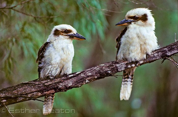 Kookaburras (Dacelo gigas) Walpole-Nornalup National Park, Western Australia