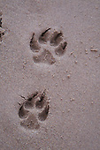 German Shepherd dog foot prints in beach sand.