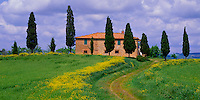 Tuscany, Italy       &copy; Mary Liz Austin  /<br /> Curved road cuts through a field of flowering yellow mustard to Tuscan farmhouse lined with cypress trees