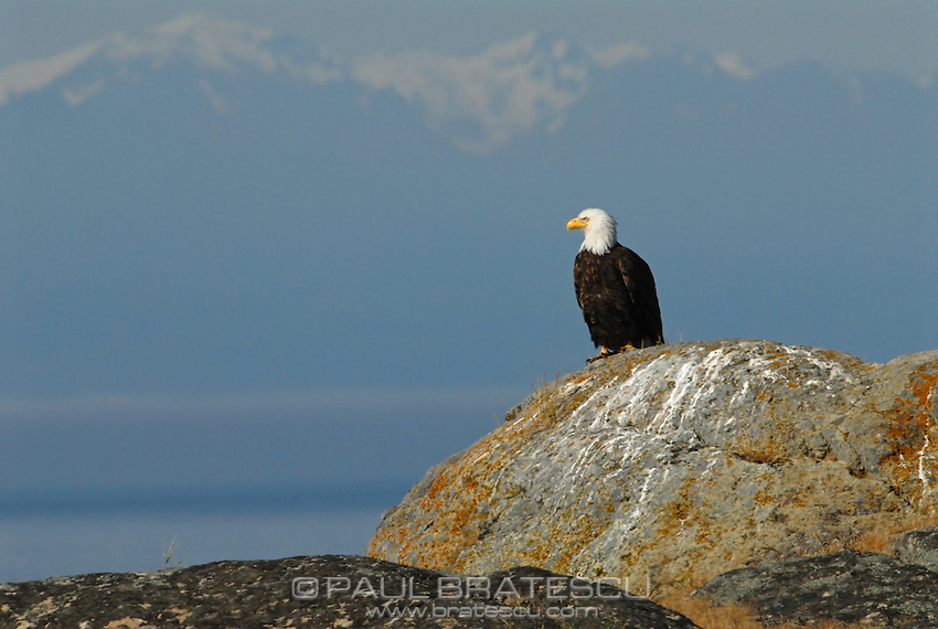 Bald Eagle (Haliaeetus leucocephalus) North America Washington state San Juan Islands
