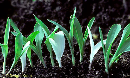 CR02-001j  Genetics - green, white corn seedlings 3:1 ratio (series CR01-002a,CR02-001j,002a,003a)