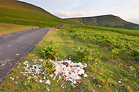 Deceased sheep carcas on side of single lane road through common pasture land, Hay Bluff, Powys, Wales
