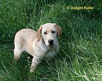 SH39-531z 3 Month old Labs, Labrador Retriever