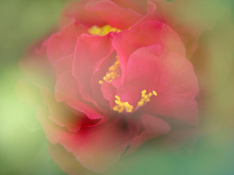 Close up of Camellia Japonica 'Kramers Supreme'.