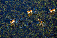 Red Lechwe Bulls on the flooded plains of the Okavango Delta as seen from the air