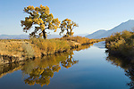 Colorful orange and golden cottonwood trees in the Carson Valley, autumn..Reflection in Carson River