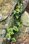 Resurrection fern (Polypodium ploypodioides) growing on tree root and rocks, Eno River State Park, North Carolina