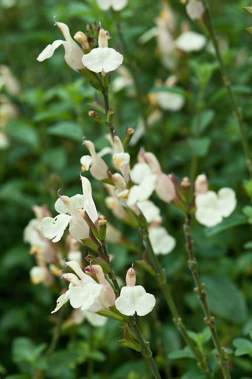 Salvia 'Trelissick' (syn. Salvia microphylla 'Trelissick Creamy Yellow'), early August.