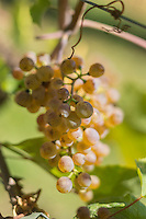 Europe, France, Aquitaine, Pyrénées-Atlantiques, Béarn, Jurançon: Vignoble du  Domaine  Larredya, Cépage Petit manseng // Europe, France, Aquitaine, Pyrenees Atlantiques, Bearn, Jurançon: Camin Larredya domain Vineyard, Wine grape variety Petit manseng