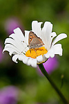 Small copper butterfly (Lycaena phlaeas) on Leucanthemum vulgare.