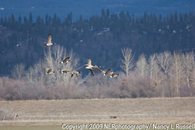 Canada Geese (Branta Canadensis) flying at Kootenai National Wildlife Refuge near Bonners Ferry, Idaho in early spring