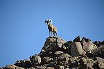 Peninsular bighorn sheep.  Ram