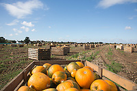Harvesting pumpkins at David Bowman Pumpkins Ltd Europe's largest grower based in Lincolnshire<br /> Picture Tim Scrivener 07850 303986<br /> tim@agriphoto.com<br /> &hellip;.covering agriculture in the UK&hellip;.
