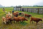 Cattle roundup at the Pasagshak Ranch on Kodiak Island,  Southwest Alaska