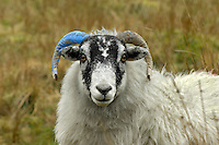 Horn marked Scottish Blackface ewe, Isle of Man. Mark is for flock identification when grazing common land.