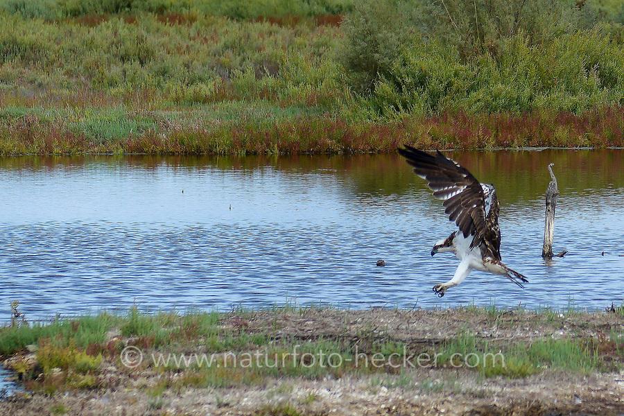 Fischadler, Fisch-Adler, Adler, im Flug, Flugbild, Pandion haliaetus, osprey, western osprey, sea hawk, river hawk, fish hawk, Le Balbuzard pêcheur