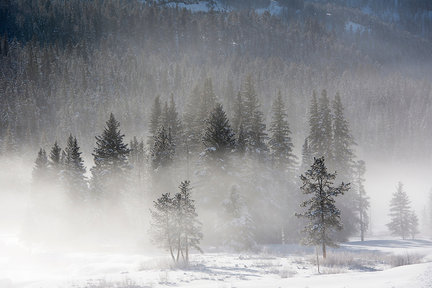 Freezing fog shrouds a stand of pine trees near Soda Butte Creek in Yellowstone National Park.
