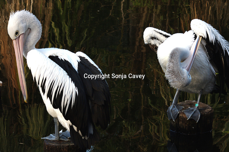 PERTH - 4 April 2010 - Australian Pelicans preening themselves at Perth Zoo. The Australian Pelican has the longest bill of any bird and is believed to be the most populous of all pelican species. Picture: Sonja Cavey/Allied Picture Press
