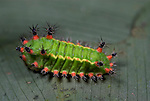 Shag Moth Caterpillar, Archaria species, urticating spines, Iquitos, Peru, Amazon jungle, venemon, poison, lepidopterism, green with yellow and red spines. .South America....