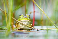 Bronze Frog Lithobates clamitans or Rana clamitans Nova Scotia Canada
