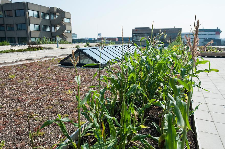 Nederland, Amsterdam, 23 aug 2013<br /> Daktuin op het dak van een kantoorgebouw Zuidpark in Amsterdam-oost. In dit gebouw zitten allemaal hippe bedrijven. Op het dak zijn gedeeltelijk tegels vervangen door sedum. Ook zijn er plantenbakken neergezet waar voornamelijk groenten in worden geteeld. De stadsmens kan zo een beetje voeling houden met hoe voedsel ontstaat. In de zomer is het bovendien een prettige plek om te lunchen of te vergaderen.<br /> Hier staat mais.<br /> Foto(c): Michiel Wijnbergh