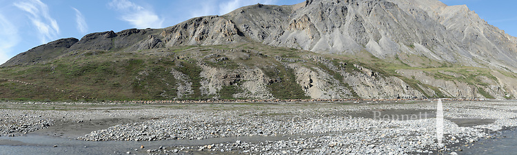 A herd of caribou travels along a gravel bar in the Hulahula River Canyon on a summer day in Alaska's Arctic National Wildlife Refuge. STITCHED PANORAMA.
