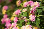 Windansea, La Jolla, California; Lantana (Lantana camara), perennial flowering plant