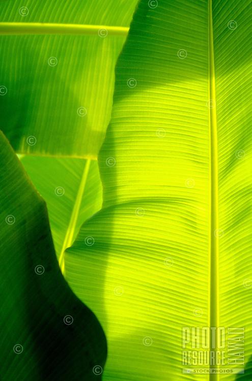 Luminescent banana leaves