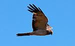 Cooper's Hawk 2, Crystal Cove, CA
