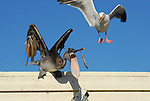 Brown pelican and gull reaching for fish