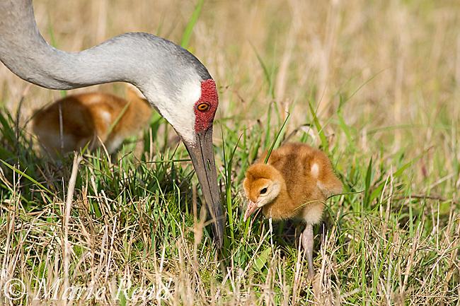 Sandhill Crane (Grus canadensis), Florida race, close-up of adult with 2 chicks, Orlando, Florida, USA