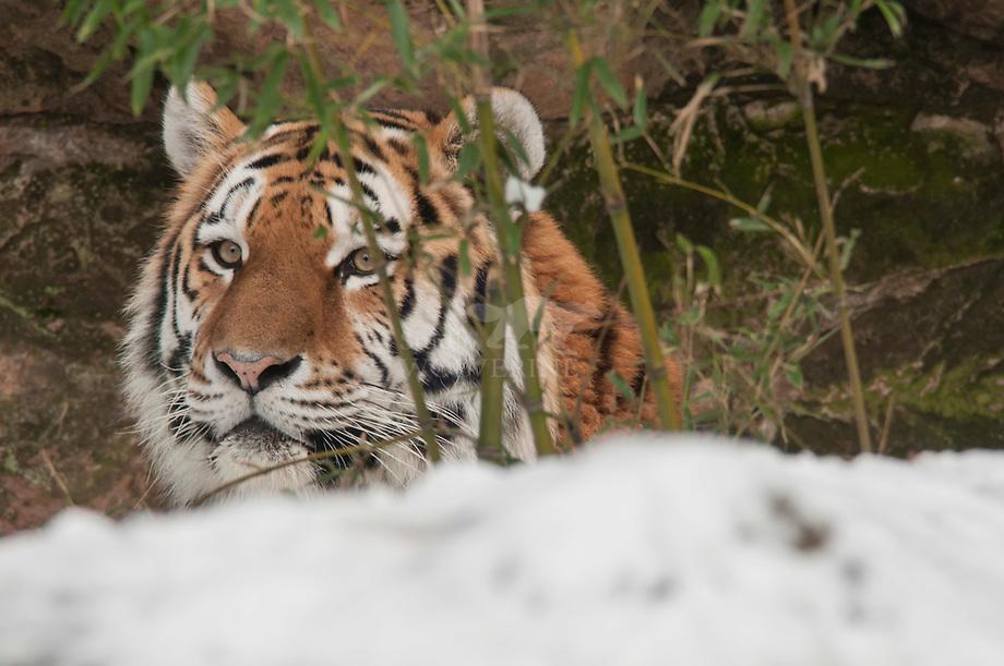 Siberische tijger (Panthera tigris altaica)