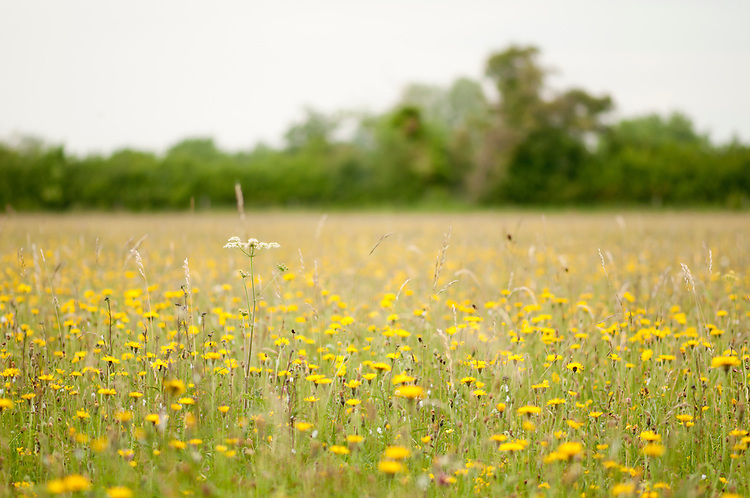 in traditional hay meadow. Clattinger Farm, Wiltshire. UK. . This habitat has been reduced by 98% in the UK since the Second World War. This is largely due to the intensification of farming practices.