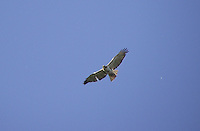 Swainsons Hawk in flight over farmer's field.
