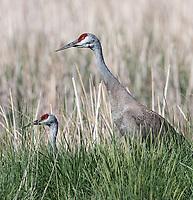 A pair of Sandhill cranes walks along a dyke at Market Lake.