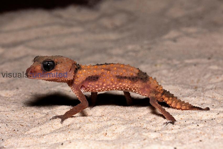 Banded Knob Tail Gecko (Nepherus wheeleri), Australia.