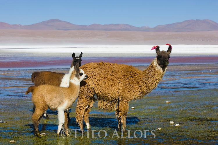 Bolivia, Altiplano, Llamas in Laguna Colorada