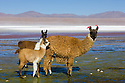 Bolivia, Altiplano, Llamas in Laguna Colorada