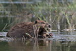 A beaver diligently chomps on dinner in the shallows around Oxbow Bend, Grand Tetons, National Park, Wyoming.