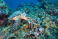 Feeding Hawksbill Turtle, Eretmochelys imbricata bissa, German Channel, Micronesia, Palau