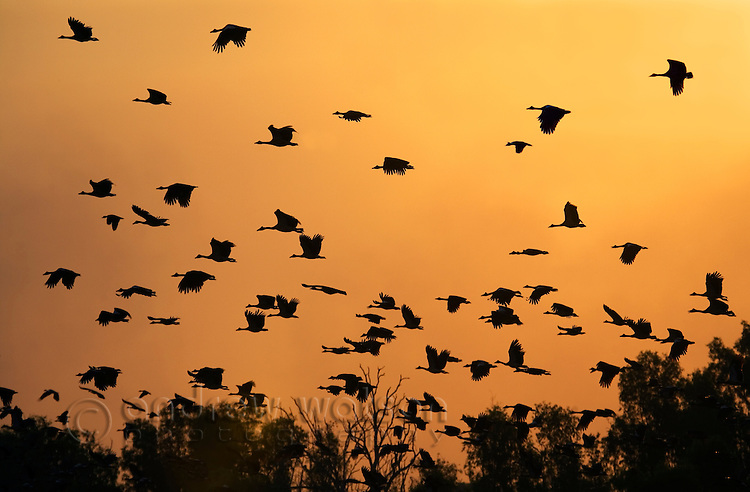 Magpie geese (Anseranas semipalmata) take flight at sunset, in the Yellow Water Wetlands.    Cooinda, Kakadu National Park, Northern Territory, AUSTRALIA. .
