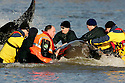 Whale in the Thames is captured...copyright pic by Gavin Rodgers/Pixel 07917221968