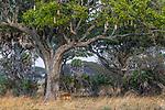 An impala (Aepyceros melampus) browses beneath a sausage tree (Kigelia africana), Katavi National Park, Tanzania<br /> <br /> Canon EOS-1D X Mark II, EF100-400mm f/4.5-5.6L IS II USM lens, f/8 for 1/3200 second, ISO