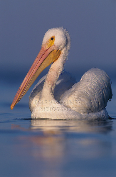 American White Pelican, Pelecanus erythrorhynchos, adult swimming, Rockport, Texas, USA