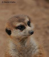 0215-08mm  Meerkat, Suricata suricatta © David Kuhn/Dwight Kuhn Photography