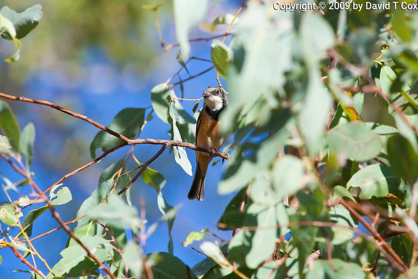 Rufous Whistler, Katherine, NT, Australia
