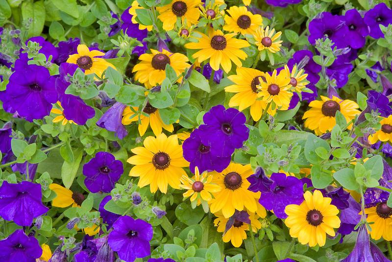 Petunias and black eyed susan flowers. Butchart Gardens, B.C. Canada