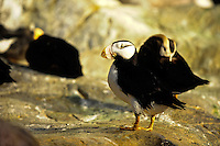 Horned Puffin, Fratercula corniculata,